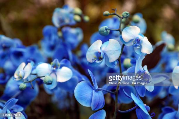 The Indonesian blue orchid is one of the 5000 colourful orchids and hundreds of other tropical plants in the Indonesiathemed Orchid Festival inside...