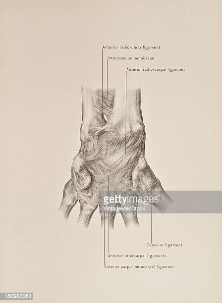 The inferior radioulnar articulation a lateral hingejoint is formed by the reception of the head of the ulna into the sigmoid cavity situated on the...