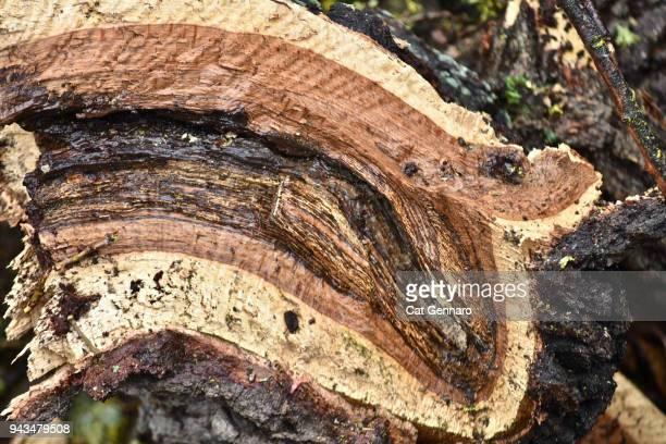 The Inner Bark of an Oak Tree