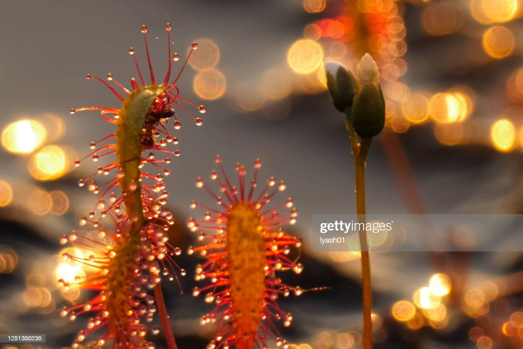 The insectivorous plant is a sundew Drosera. Predatory plant. : Stock Photo