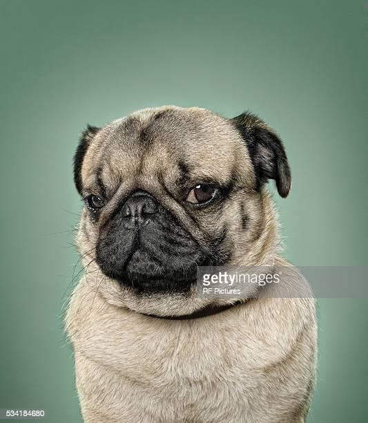 The Intelligent Pug
