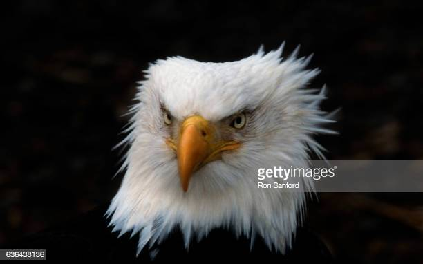 the intense head of a bald eagle. - kachemak bay stock pictures, royalty-free photos & images