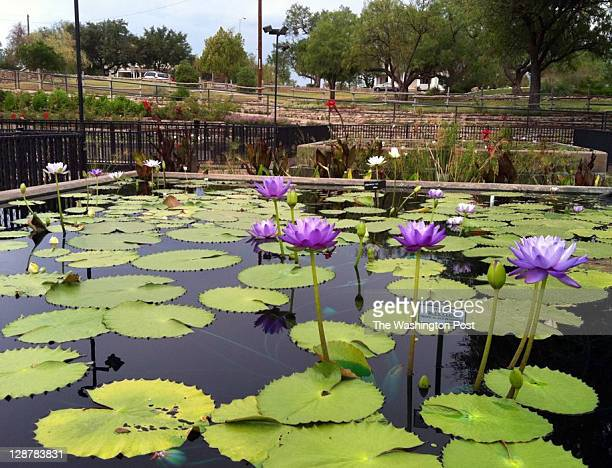 The International Water Lily Garden in San Angelo, Texas.