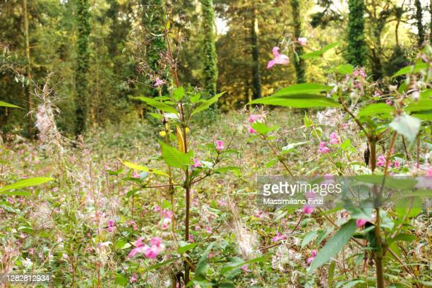 the introduced species of a pink flower himalayan balsam (impatiens glandulifera) - exotic_species stock pictures, royalty-free photos & images