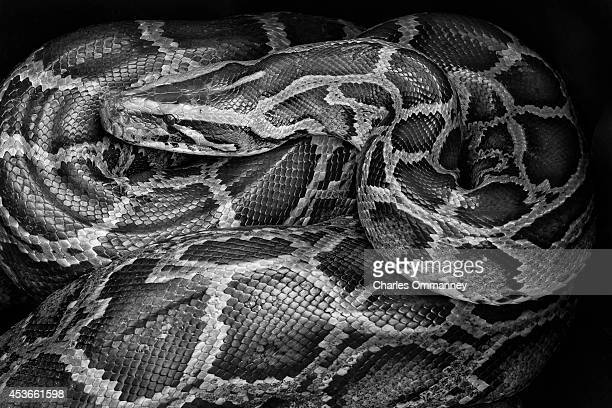 'The Invasives' Scenes around the Florida Everglades on February 20 2014 in Homestead Florida An aggressive 12 foot long Burmese Python caught in...