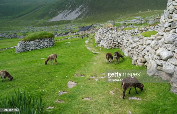 The islands of St Kilda archipelago in Scotland. Island of Hirta. Soay sheep a traditional and old breed of sheep unique to St. Kilda. Now feral. It...
