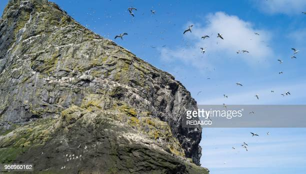 The islands of St Kilda archipelago in Scotland. Stac Lee having the largest northern gannet colonies worldwide. It is one of the few places...