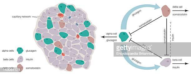 The Islets Of Langerhans Contain Alpha Beta And Delta Cells That Produce Glucagon Insulin And Somatostatin Respectively