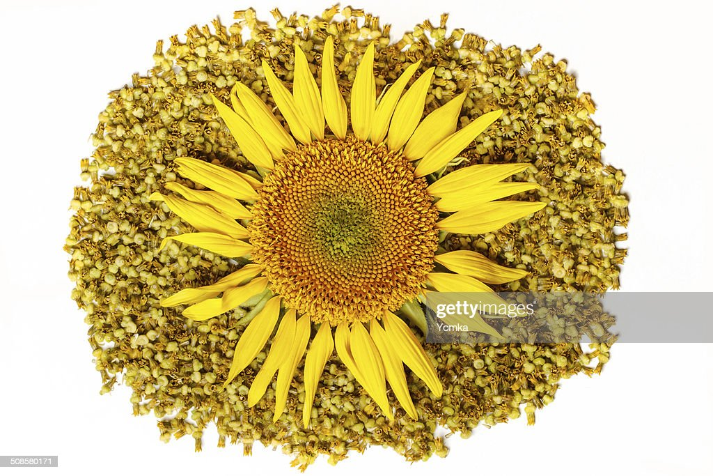 The isolated flower of a sunflower on a white background : Stock Photo
