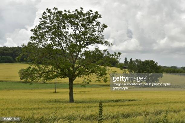 The isolated trees in middle wheat plantation under dark sky and rain