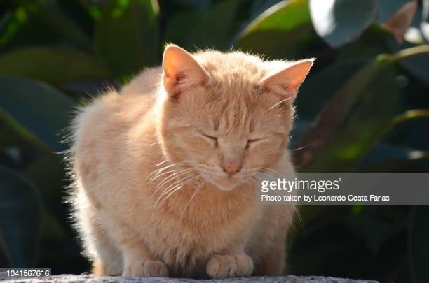 the italian cat - leonardo costa farias stock photos and pictures