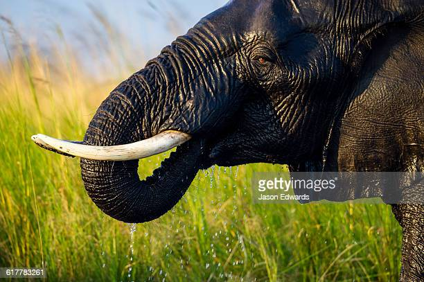 The ivory tusks of an African Elephant drinking with its trunk.