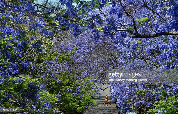 The Jacaranda trees of Sydney in full bloom but for only a week or two as summer approaches Here a local walks his dog across McDougall St in...