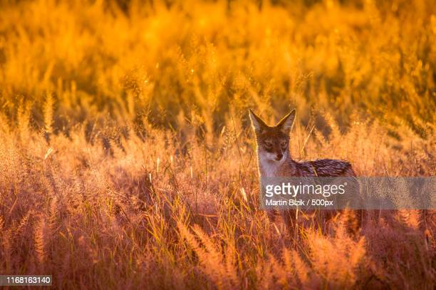 the jackal - southern africa stock pictures, royalty-free photos & images