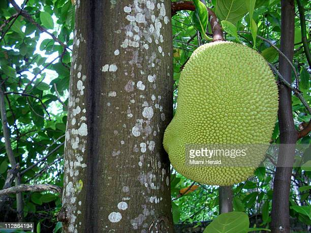 The jackfruit is the largest fruit on earth a wonder of nature that resembles a strange fat animal with reptilian green skin hanging from the trunk...