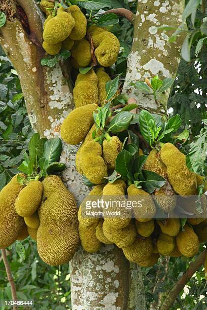The Jackfruit locally known as kathal is a modification of the entire pistillate catkin and contains 100500 large oily seeds The edible pulpy part...