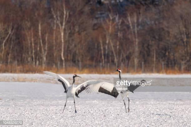 The Japanese Red-Crown Crane Dancing in Snow, Kushiro, Hokkaido, Japan