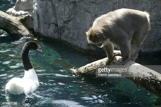 The Japanese snow monkeys at the Wildlife Conservation Center in Central Park live in a natural setting surrounded by a small lake They have hot...