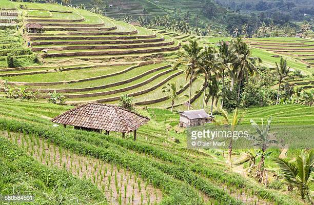 the jatiluwih rice terraces in bali - didier marti stock photos and pictures