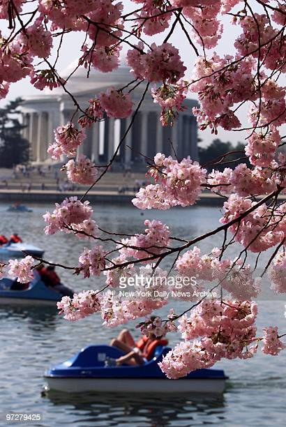 The Jefferson Memorial is framed by cherry blossoms along the shore of the Tidal Basin at the height of the annual National Cherry Blossom Festival...