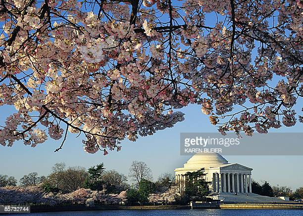 The Jefferson Memorial is seen amid blooming cherry trees on March 31 2009 in Washington DC The annual Cherry Blossom Festival runs April 4 12 AFP...