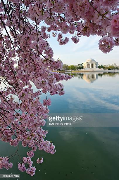 The Jefferson Memorial is seen with cherry blossoms at the Tidal Basin April 11 2013 in Washington DC The blossoms are now at their peak AFP PHOTO /...