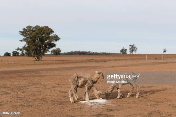 The Jerry family farm 'Marlborough' 40 km outside Coonabarabran The New South Wales State government recently approved an emergency drought relief...