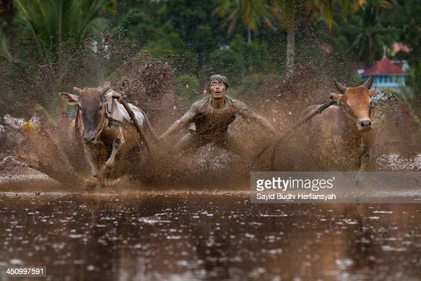 The jockey rides a pair of cows with holding of the tails along 100 meters muddy soaked track in rice field with barefoot to balancing a wooden...
