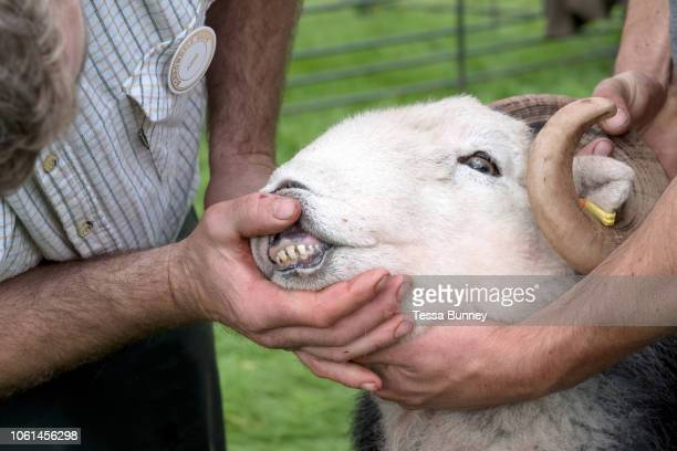 The judge checks the teeth of a Herdwick tup at Borrowdale Shepherds' Meet in Rosthwaite village Cumbria on 16 September 2018 Herdwick sheep are the...