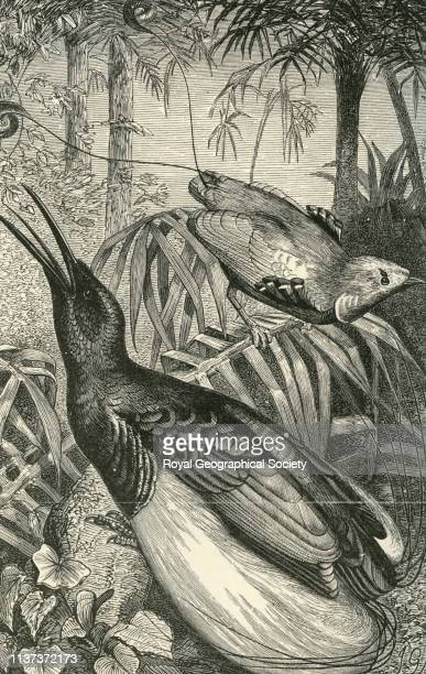 The 'king' and the 'twelve wired' birds of paradise from 'The Malay Archipelago the land of the orangutan and the bird of paradise A narrative of...