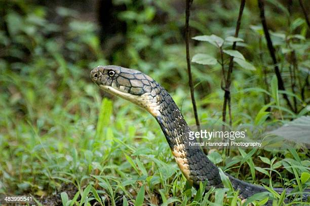 the king cobra - king cobra stock photos and pictures