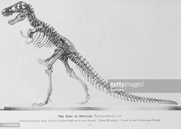 The king of reptiles a skeleton of a Tyrannosaurus rex measuring fortyseven feet long eighteen feet six inches high as he now stands The skeleton was...