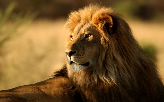 The King of the Jungle 534056240