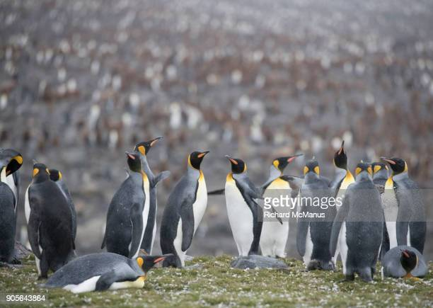 The King Penguin rookery on St Andrew's Bay