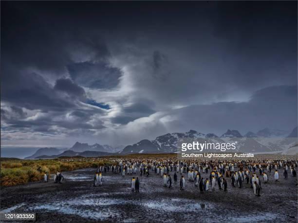 the king penguins (aptenodytes patagonicus) at salisbury plain, south georgia island, southern atlantic ocean. - koningspinguïn stockfoto's en -beelden