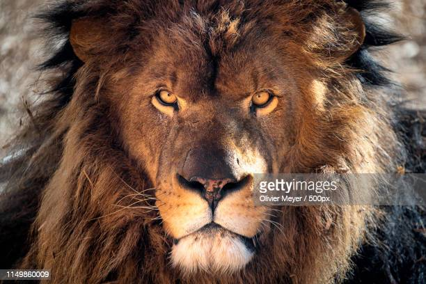 the king - lion stock pictures, royalty-free photos & images