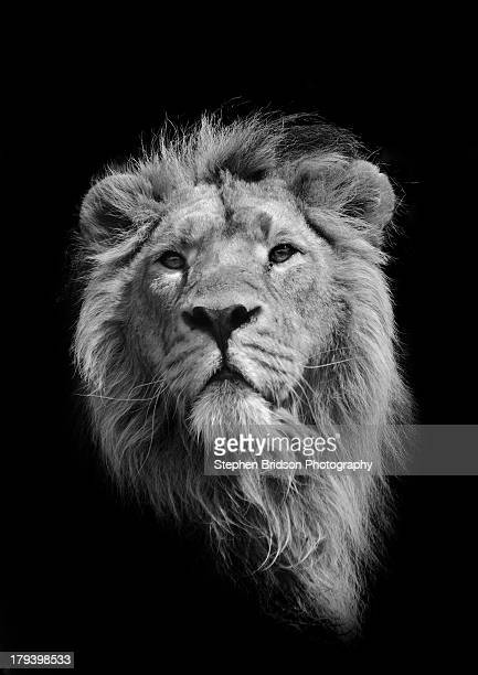 the king (asiatic lion) - dark panthera stock pictures, royalty-free photos & images