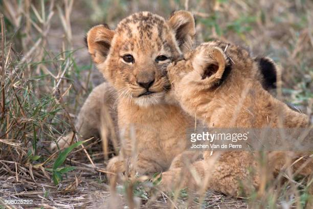 the kiss - lion cub stock photos and pictures