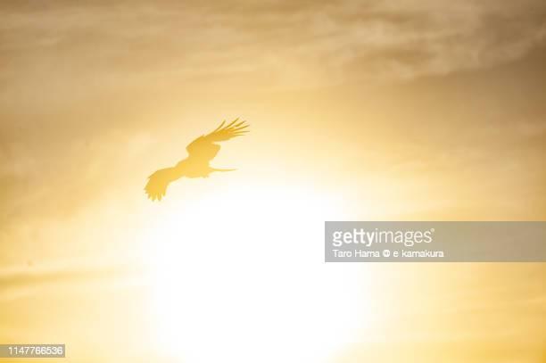the kite flying around evening sun in japan - raubvogel stock-fotos und bilder