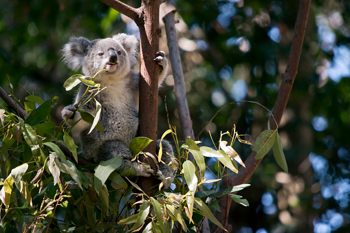 the koala is eating leaves 1192614111