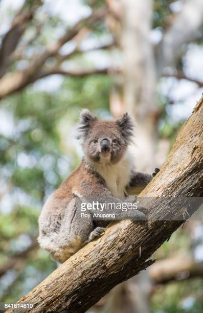 the koala on eucalyptus tree along the way to the great ocean road, australia. - koala stock photos and pictures