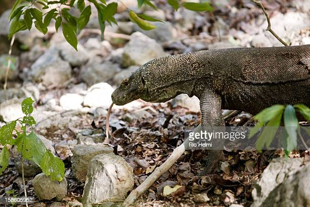 The Komodo dragon uses its forked tongue to smell flicking the tongue out to catch molecules in the air which it then brings back into its mouths to...