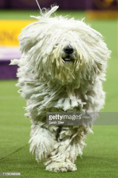 The Komondor 'Addison' competes during Working Group judging at the 143rd Westminster Kennel Club Dog Show at Madison Square Garden on February 12...