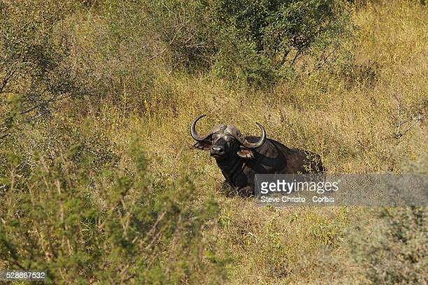 The Kruger National Park is the largest game reserve in South Africa and one of the world's biggest wildlife sanctuaries A Cape Buffalo in the bush...