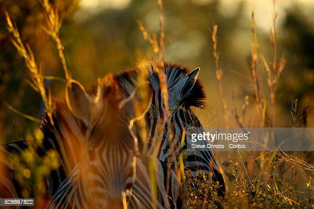 The Kruger National Park is the largest game reserve in South Africa and one of the world's biggest wildlife sanctuaries Zebras come through the long...