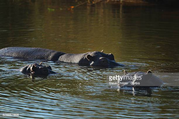 The Kruger National Park is the largest game reserve in South Africa and one of the world's biggest wildlife sanctuaries Hippopotamus wallow in the a...