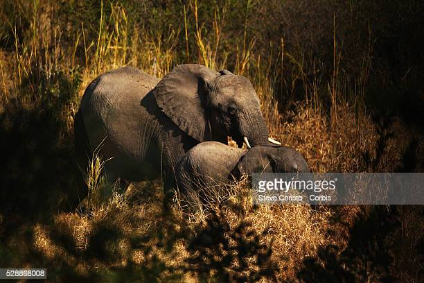 The Kruger National Park is the largest game reserve in South Africa and one of the world's biggest wildlife sanctuaries An Elephant and calf in the...