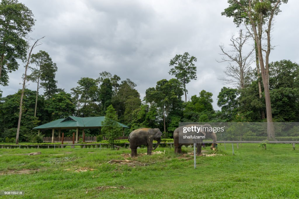 The Kuala Gandah Elephant Conservation Centre is an elephant sanctuary located in Pahang. The Centre was established in 1989 by the Malaysian Department of Wildlife. : Stock Photo