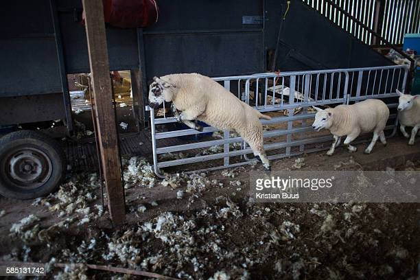 The lambs are separated from their mothers and let out past the shearing Sheep are sheared at a farm in the Scottish Borders July 26 2016 A team of...