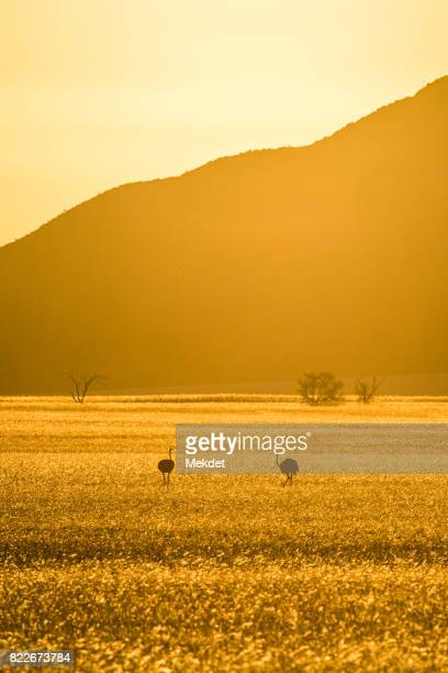 The landscape of savannah field and the mountain in golden hour with the two ostriches, Namibia